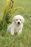 Nice golden retriever puppy Stock Image