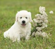 Nice golden retriever puppy Stock Images