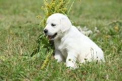 Nice golden retriever puppy Royalty Free Stock Photo
