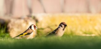 Nice goldfinch sits in grass with male sparrow. Horizontal photo of single male goldfinch. The bird has nice brown, white, red black and yellow color. Animal is Royalty Free Stock Photography