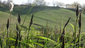 Nice grass blooming at early spring near the river. stock footage