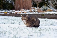 Nice gray cat in the garden in the snow Royalty Free Stock Images