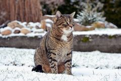 Nice gray cat in the garden in the snow Stock Photos