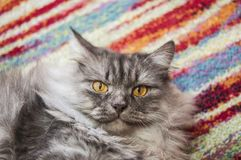 nice gray cat Royalty Free Stock Photography