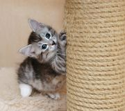 Nice gray kitten. A cute gray kitten sharpens his claws. Long-haired breed of cats. Home life of pets Stock Photo