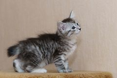 Nice gray kitten. Long-haired breed of cats. Home life of pets Royalty Free Stock Image