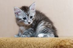 Nice gray kitten. Long-haired breed of cats. Home life of pets Royalty Free Stock Photography