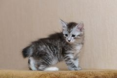 Nice gray kitten. Long-haired breed of cats. Home life of pets Royalty Free Stock Photos