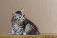 Nice gray kitten. Long-haired breed of cats. Home life of pets Stock Photography