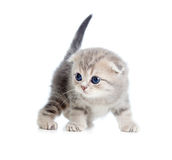 Nice gray Scottish baby cat one month old Stock Image