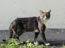 Nice gray single homeless cat with green eyes is posing outdoors Royalty Free Stock Photos