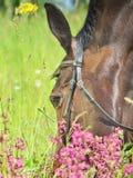 Nice grazing horse Stock Photography