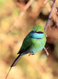 Nice Green Bee-eater bird Stock Images
