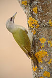 Nice green bird Grey-headed Woodpecker sitting on the tree trunk with yellow lichen Stock Photos
