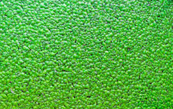Nice green duckweed Stock Images