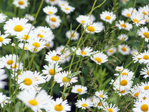 Green flowering meadow with white daisies Royalty Free Stock Image