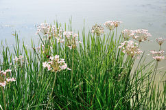 Nice green grass with white flowers near the lake water. Stock Photography