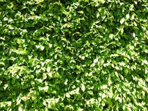 Green plants wall, Lithuania Royalty Free Stock Image