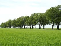 Beautiful green rye field and trees , Lithuania royalty free stock photo