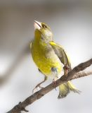 The nice green singing bird Stock Images