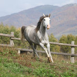 Nice grey arabian stallion with flying mane Stock Photos