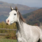 Nice grey arabian stallion with flying mane Stock Images