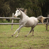 Nice grey arabian stallion with flying mane Royalty Free Stock Photo
