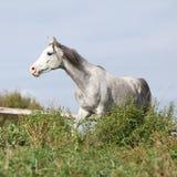 Nice grey arabian stallion running Stock Photo