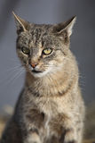 Nice grey cat looking at you Stock Image