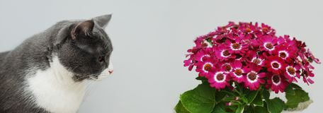Grey cat near pink Spring Flowers on Gray background with copy Space. Banner. royalty free stock photography