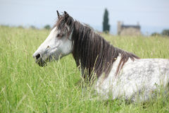 Nice grey fell pony mare lying down Royalty Free Stock Photo