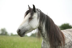 Nice grey fell pony mare on pasturage Stock Images