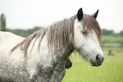 Nice grey fell pony mare on pasturage Royalty Free Stock Photo
