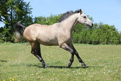 Nice grey horse running on pasturage Stock Images