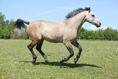 Nice grey horse running on pasturage Royalty Free Stock Images