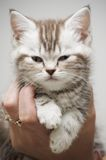 Nice grey kitten. On the hand Stock Images