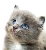 Nice grey kitten Royalty Free Stock Photo