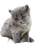 Nice grey kitten Royalty Free Stock Image