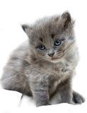 Nice grey kitten Royalty Free Stock Image