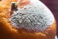 Nice grey mould on big orange Stock Photography