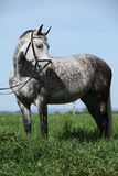 Nice grey pony with bridle standing in the grass Stock Photo