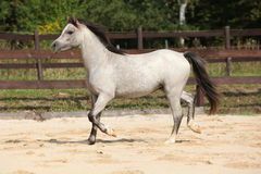 Nice grey stallion with flying mane Stock Image