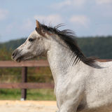 Nice grey stallion with flying mane Royalty Free Stock Images