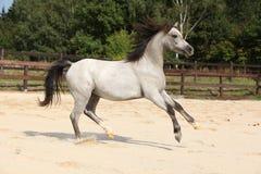 Nice grey stallion with flying mane Stock Image