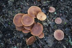 Cluster of Brown mushrooms Royalty Free Stock Images