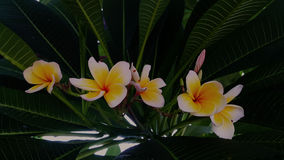 Nice group of white plumeria flowers. Stock Images