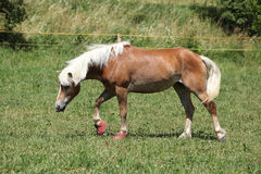 Nice haflinger with boots Stock Photos