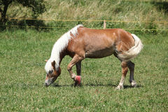 Nice haflinger with boots Royalty Free Stock Photography