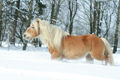 Nice haflinger with long mane running in the snow Royalty Free Stock Photography