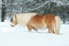 Nice haflinger with long mane running in snow Royalty Free Stock Photos